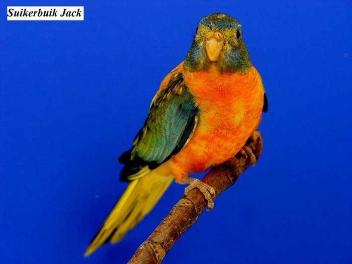 spl-opaline-verte-ventre-dos-rouge-femelle-opaline-green-roodbuik-hen-from-suikerbuik-jack3.jpg