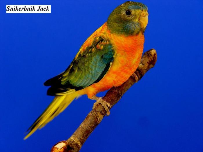 spl-opaline-verte-ventre-dos-rouge-femelle-opaline-green-roodbuik-hen-from-suikerbuik-jack4.jpg