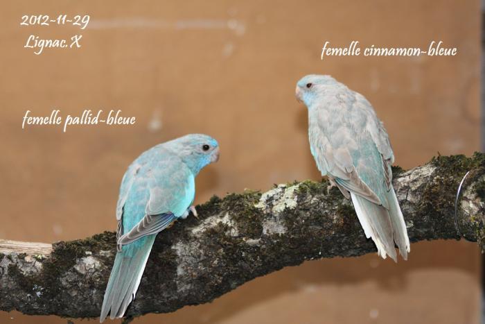 spl-pallid-bleu-cinnamon-bleu-femelle.jpg