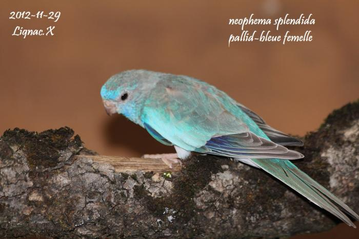 spl-pallid-bleu-femelle-1.jpg
