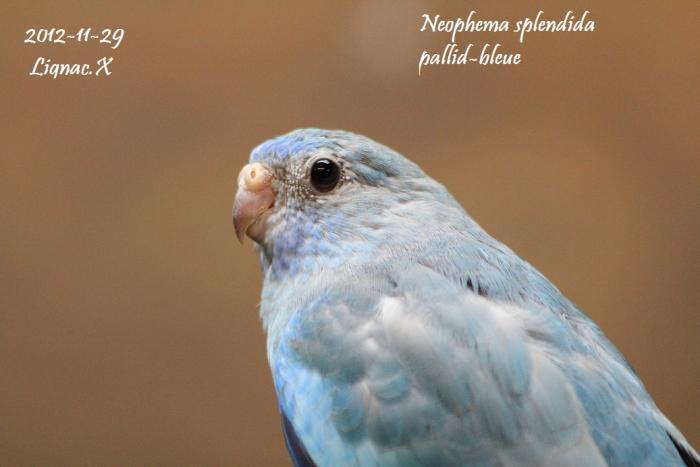 spl-pallid-bleu-femelle-2.jpg