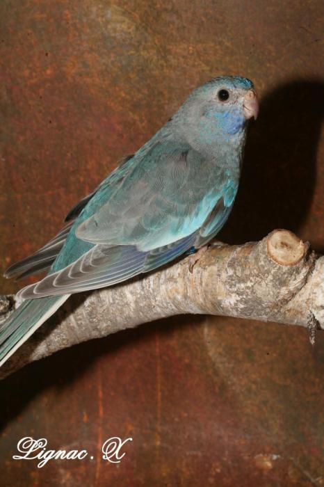 spl-pallid-bleu-femelle-4.jpg