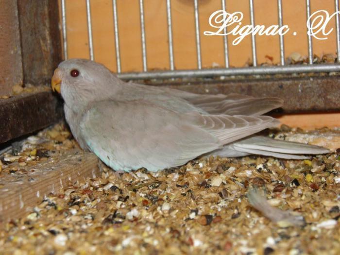 spl-pallid-cinnamon-bleu-ivoire-femelle-1.jpg