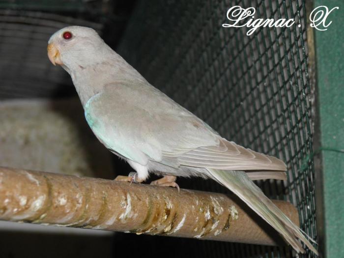 spl-pallid-cinnamon-bleu-ivoire-femelle-2.jpg