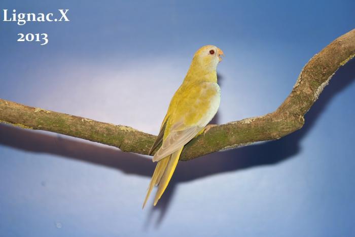 spl-pallid-cinnamon-femelle-3.jpg