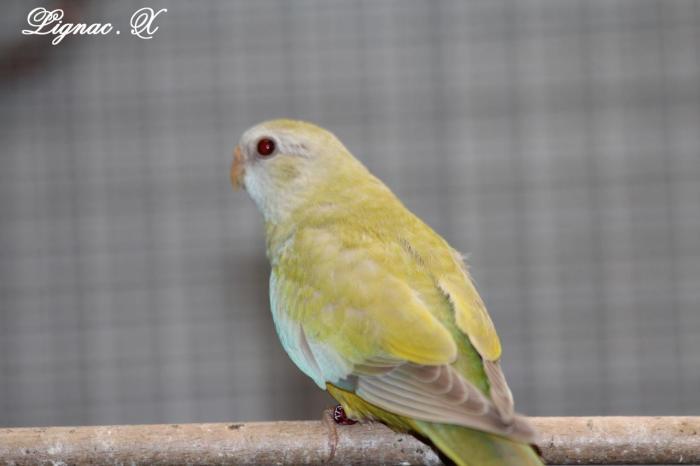 spl-pallid-cinnamon-jaune-doree-femelle-1.jpg