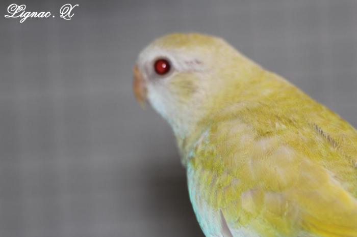 spl-pallid-cinnamon-jaune-doree-femelle-2.jpg