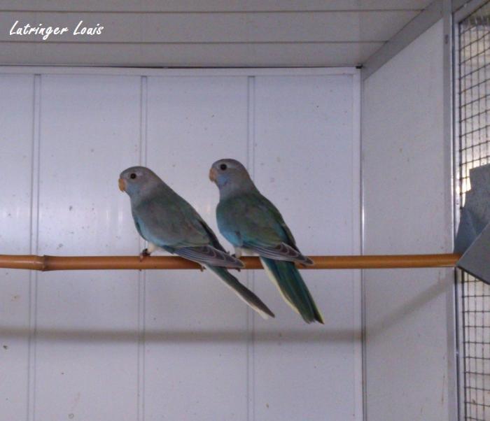 spl-pallid-turquoise-femelle-2.jpg