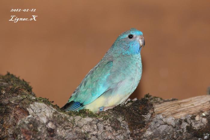 spl-turquoise-femelle.jpg