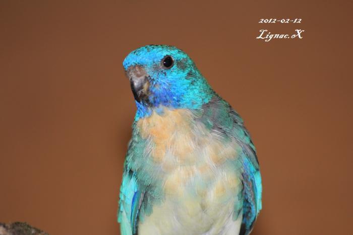 spl-turquoise-male-2.jpg
