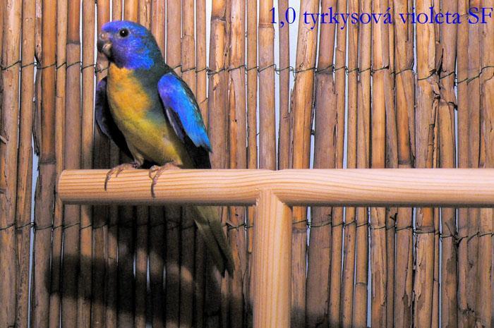 spl-violet-turquoise-male.jpg