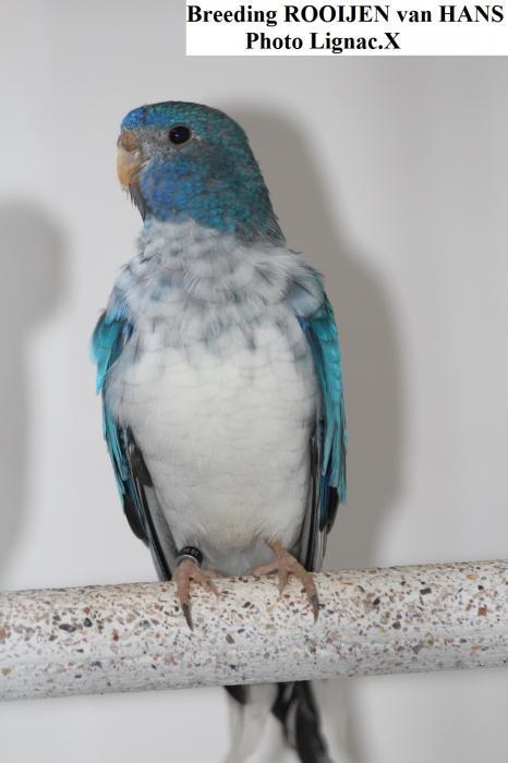 Spl opaline bleue 0-1