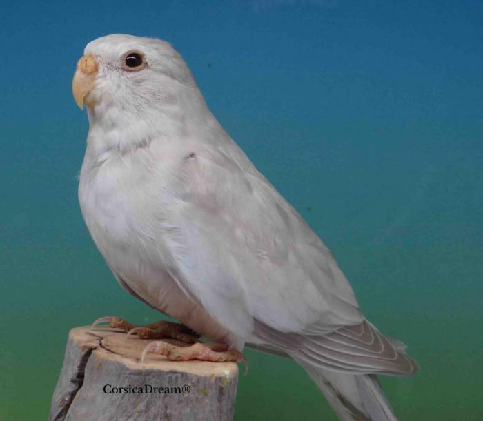 splendide-pallid-cinnamon-bleu-ivoire-femelle.jpg