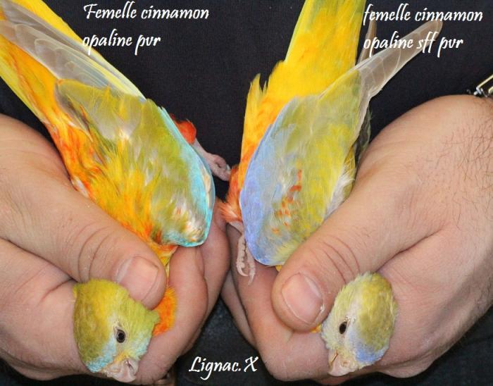 turq-cin-opaline-pvr-cinn-opaline-sff-pvr-femelle-2.jpg