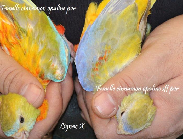 turq-cin-opaline-pvr-cinn-opaline-sff-pvr-femelle-3.jpg