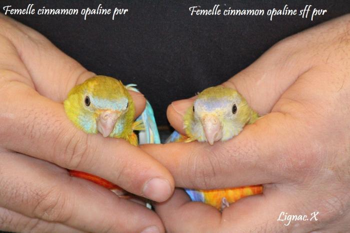 turq-cin-opaline-pvr-cinn-opaline-sff-pvr-femelle-4.jpg