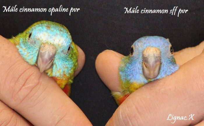 turq-cinn-opaline-pvr-cinn-sff-pvr-male-1.jpg
