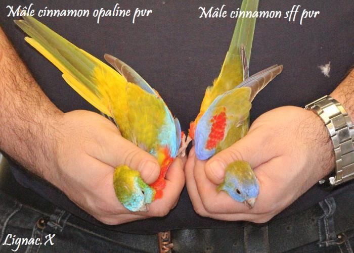 turq-cinn-opaline-pvr-cinn-sff-pvr-male-2.jpg