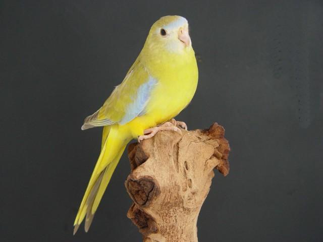 turq-cinnamon-femelle.jpg