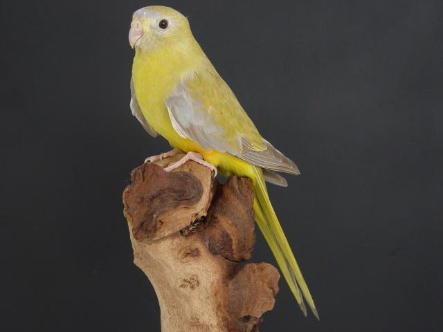turq-cinnamon-gris-vert-femelle.jpg