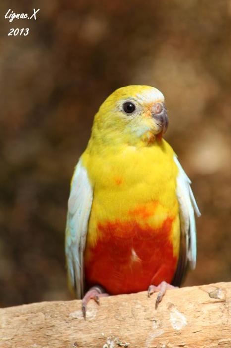 turq-dilue-pvr-femelle-2-1.jpg