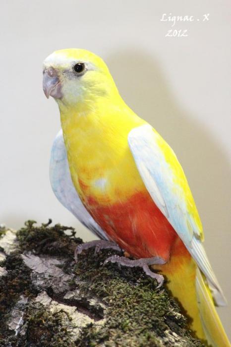 turq-dilue-pvr-femelle-2.jpg