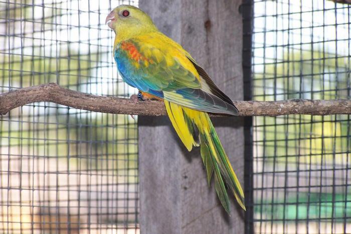 turq-dun-fallow-opaline-femelle1.jpg