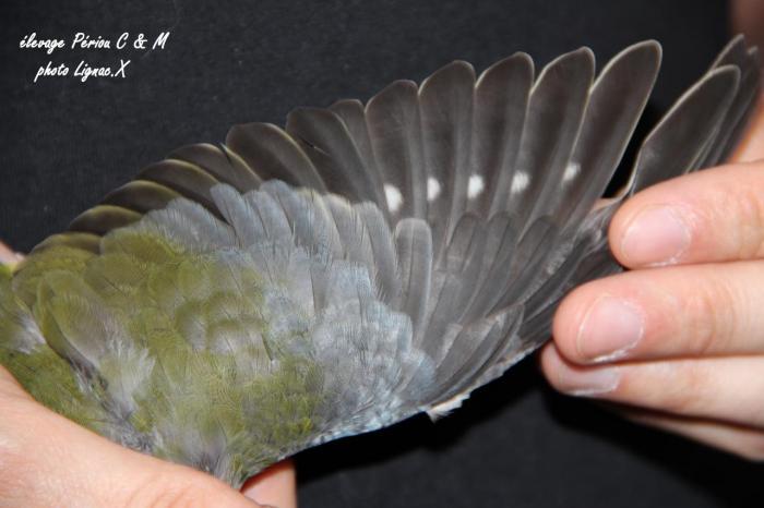 turq-gris-vert-femelle-1.jpg