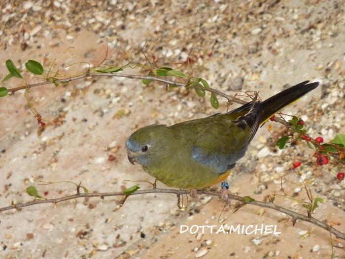 turq-olive-femelle-1.jpg