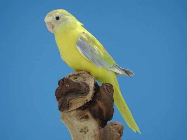 turq-opaline-cinnamon-femelle.jpg