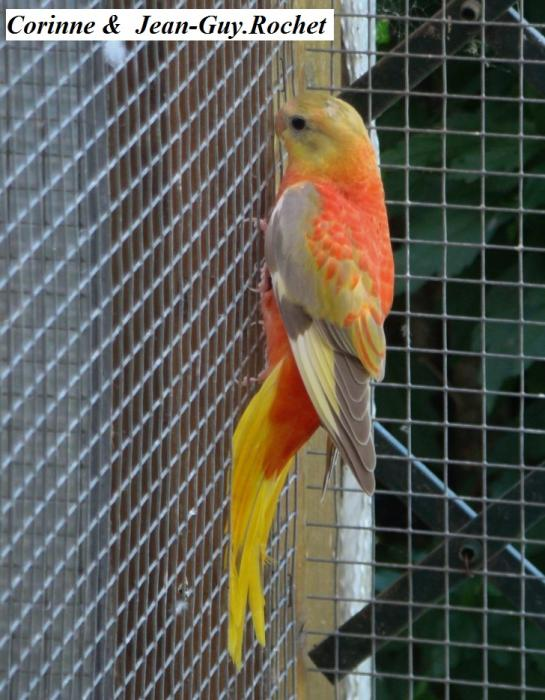 turq-opaline-cinnamon-gris-vert-pvr-femelle-opaline-cinnamon-grey-green-red-belly-hen-1.jpg