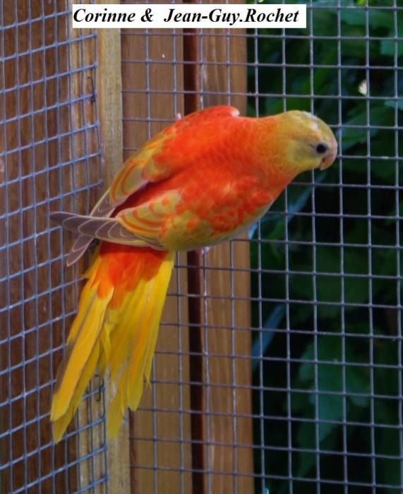 turq-opaline-cinnamon-gris-vert-pvr-femelle-opaline-cinnamon-grey-green-red-belly-hen.jpg