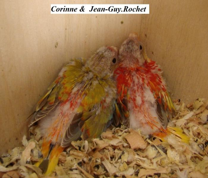turq-opaline-cinnamon-pvr-male-a-gauche-bebe-cinnamon-opaline-red-belly-man-on-the-left-baby.jpg
