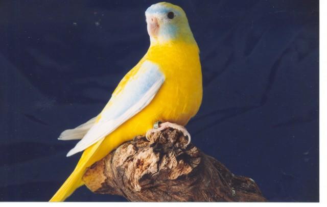 turq-opaline-dilue-femelle.jpg