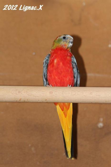 turq-opaline-gris-vert-pvr-male-1.jpg