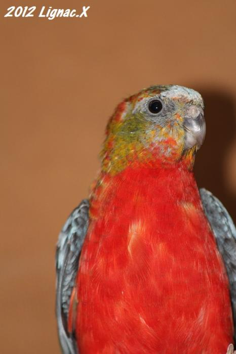 turq-opaline-gris-vert-pvr-male-2.jpg
