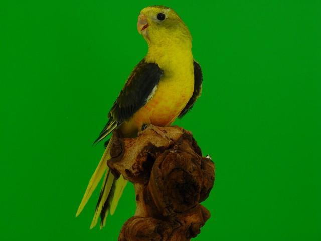 turq-opaline-p-v-jaune-dff-femelle-1.jpg