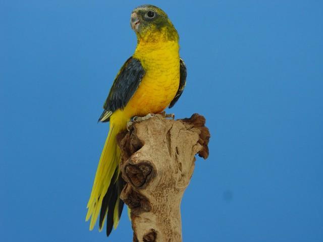 turq-opaline-p-v-jaune-dff-male-1.jpg