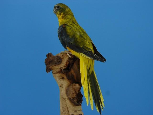 turq-opaline-p-v-jaune-dff-male.jpg