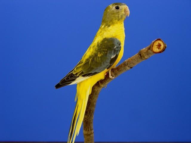turq-opaline-p-v-jaune-gris-vert-femelle-1.jpg