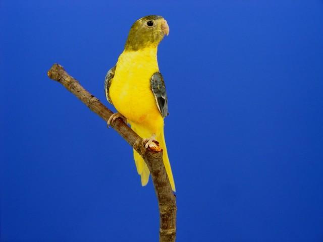 turq-opaline-p-v-jaune-gris-vert-femelle.jpg