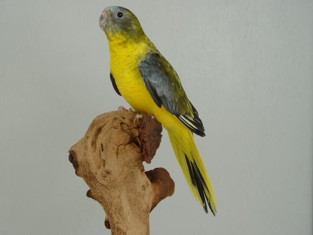 turq-opaline-p-v-jaune-gris-vert-male.jpg