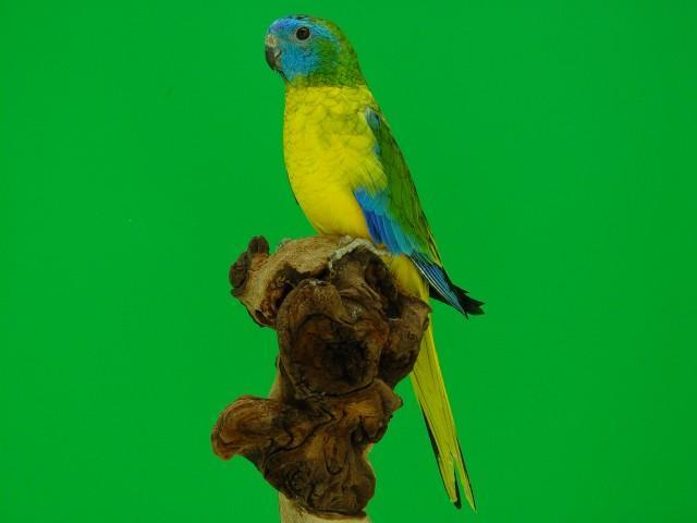 turq-opaline-p-v-jaune-male.jpg