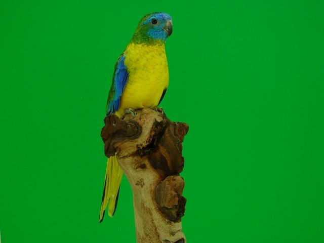 turq-opaline-p-v-jaune-male1.jpg