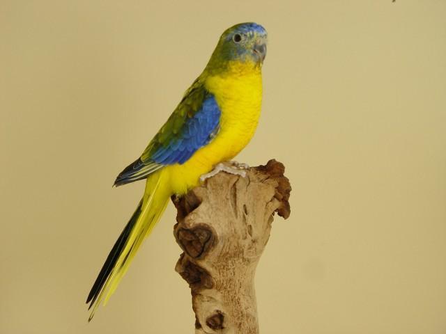 turq-opaline-p-v-jaune-sff-male-1.jpg