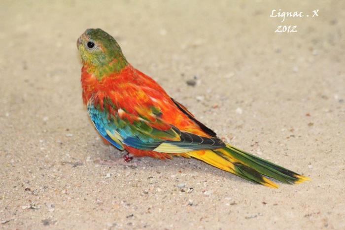 turq-opaline-pvr-femelle.jpg