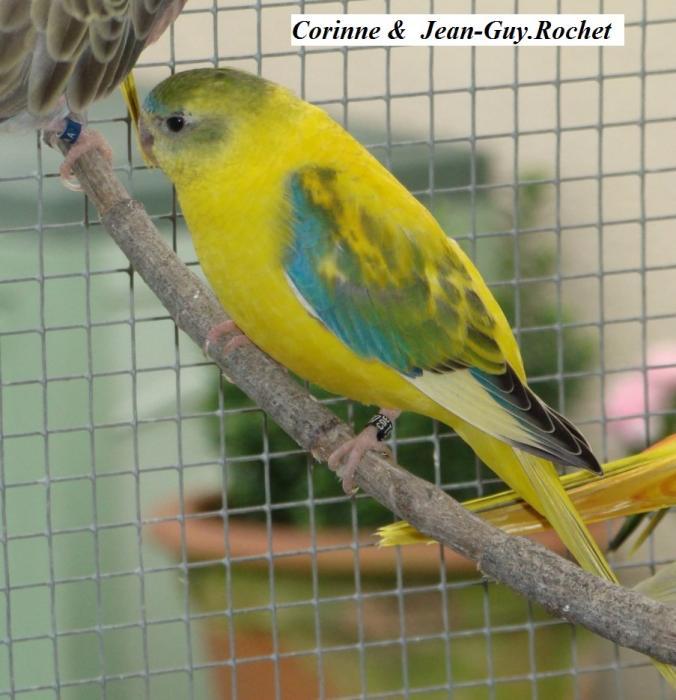 turq-opaline-selection-jaune-femelle-opaline-selection-dilute-hen.jpg