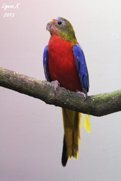 turq-opaline-sff-pvr-male-12.jpg