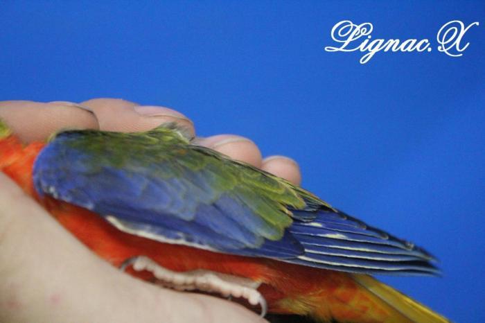 turq-opaline-sff-pvr-male-2.jpg