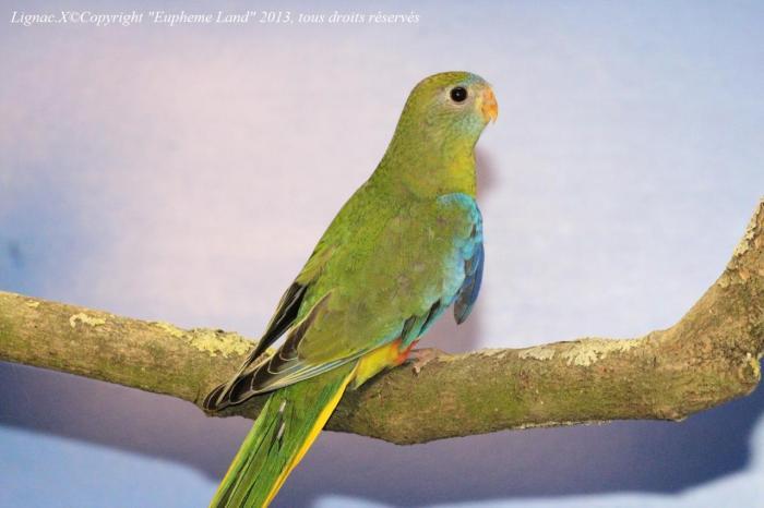 turq-type-sauvage-femelle-jeune-1.jpg